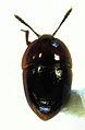 Chelagyrtodes davidi female.jpg