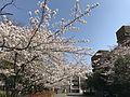 Cherry blossoms in Hakozaki Campus of Kyushu University.jpg