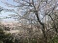 Cherry blossoms in Sasayama Park 8.jpg