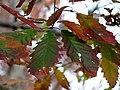 Chestnut Oak (30933179812).jpg