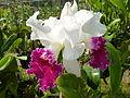 Chiang Mai Orchids P1110347.JPG