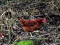 Chicken on walkabout - geograph.org.uk - 1087705.jpg