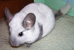 definition of chinchilla