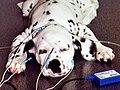 Chiot dalmatien subissant un test Potentiel Evoqué Auditif dans une école vétérinaire.jpg