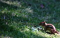 Chipmunk-in-grass-wildlife 16 - West Virginia - ForestWander.jpg