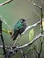Chlorostilbon melanorhynchus Esmeralda occidental Western Emerald (female) (14335450986).jpg
