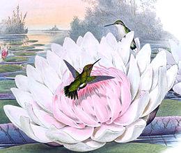 Chlorostilbon portmanni, Gould