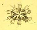 Choanoflagellates (Méchnikov).png