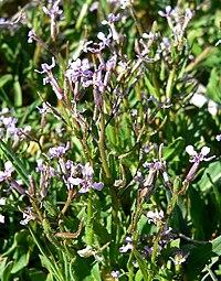 Chorispora tenella 2