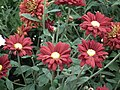 Chrysanthemum from Lalbagh flower show Aug 2013 7948.JPG