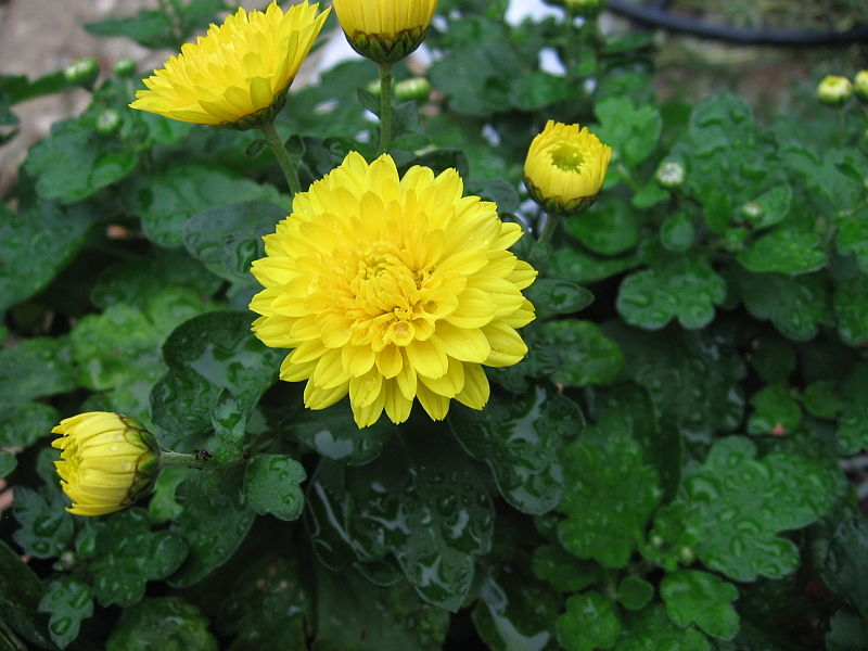 File:Chrysanthemum x grandiflorum 04.jpg