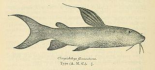 <i>Chrysichthys</i> genus of fishes