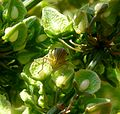 Cicadella viridis. Cicadellidae. head detail - Flickr - gailhampshire.jpg