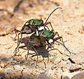 Cicindela campestris couple2.jpg