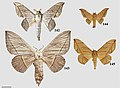 Cicinninae (10.3897-zookeys.815.27335) Figures 142–145.jpg