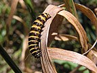 Cinnabar moth caterpillar 03.jpg