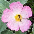 Cistus with hoverfly (FG) (8248502743).jpg