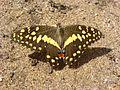 Citrus swallowtail Tanzania.JPG