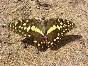Fauna of Africa - A citrus swallowtail from Tanzania