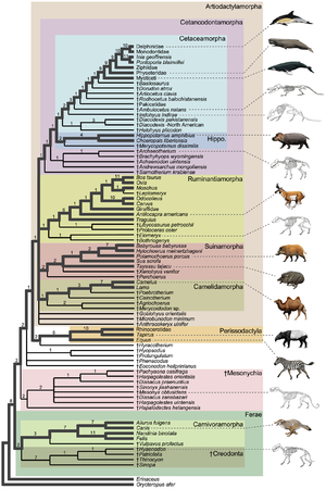 Whippomorpha - Cladogram showing Whippomorpha within Artiodactylamorpha.  Whippomorpha consists of the clades labeled Hippo and Cetaceamorpha.