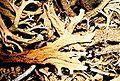 Cladonia leporina-5.jpg