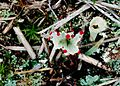 Cladonia pleurota-7.jpg