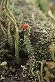 Cladonia sp. (38505171964).jpg