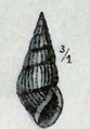 Clavus exilis 001.png