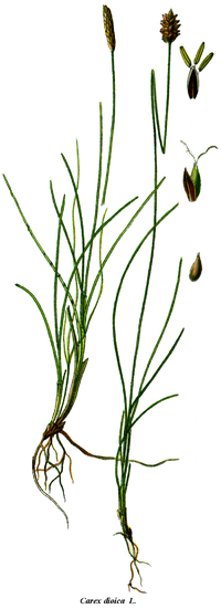 Cleaned-Carex dioica
