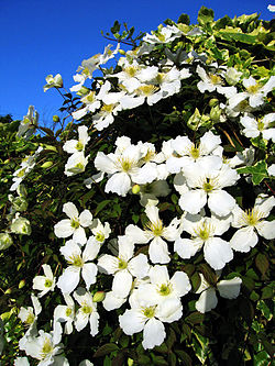 definition of clematis