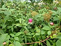 Clematis seedling - sect viorna - Flickr - peganum.jpg