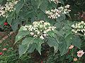 ClerodendronTrichotomum.jpg
