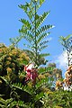 Clianthus maximus kz01.jpg