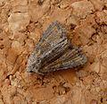 Cloaked Minor. Mesoligia furuncula. - Flickr - gailhampshire.jpg
