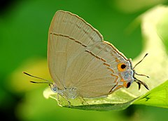 Close wing position of Creon cleobis, Godart, 1824 – Broadtail Royal WLB.jpg