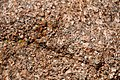 Coarsely-crystalline porphyritic granite (Pikes Peak Granite (pgpm2 facies); a little east of summit house atop Pikes Peak, central Colorado, USA) 2.jpg