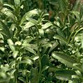 Coastal peppercress cropped DOC.jpg
