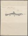 Cobitis taenia - 1774-1804 - Print - Iconographia Zoologica - Special Collections University of Amsterdam - UBA01 IZ15000182.tif