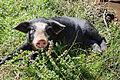 Cochon 2A Corse-du-Sud.jpg