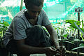 Cocoa farmer Jenny Kebu grafting a Cocoa seedling at Kebu farm, east of Honiara. (10687161116).jpg