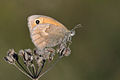 Coenonympha pamphilus - Small Heath.jpg