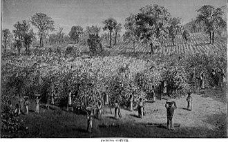 History of coffee - Coffee plantation