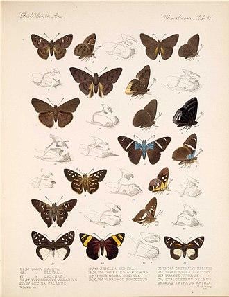 Skipper (butterfly) - Image: Cogia Typhedanus
