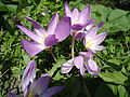 Colchicum speciosum in Caucasus.jpg