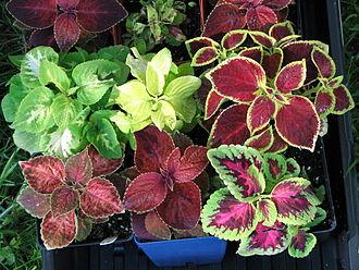 Solenostemon - Hybrid Coleus leaves