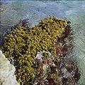 Collectie Nationaal Museum van Wereldculturen TM-20029691 Zeewier op rotsen Bonaire Boy Lawson (Fotograaf).jpg