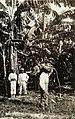 Collectie Nationaal Museum van Wereldculturen TM-60061957 Bananenoogst Jamaica fotograaf niet bekend.jpg