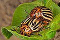Colorado potato beetle - mating.jpg