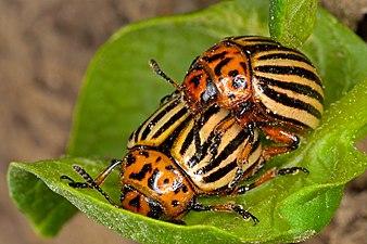 Colorado potato beetle - mating.jpg