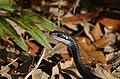 Coluber constrictor ssp. priapus (Southern Black Racer).jpg